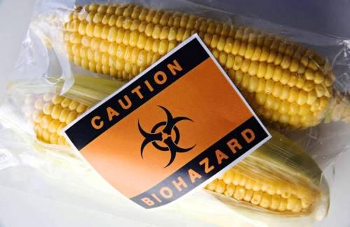 maiz-toxico-transgenico