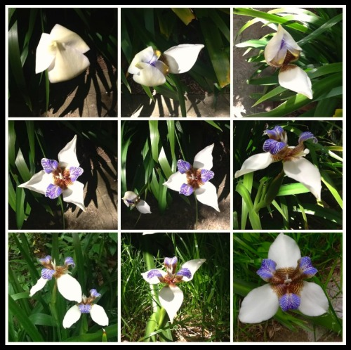 So called Wild Orchids blooming at home. Photographs taken on October 23rd, 2015. ©Amalia Pedemonte.