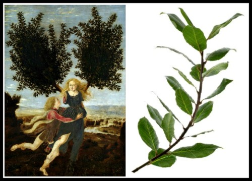 "On the Left: ""Apollo and Daphne"" by Antonio del Pollaiolo (1470/1480).- On the Right: Laurel Bay Leaves."